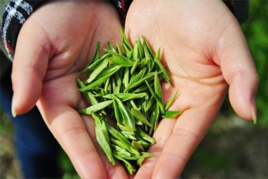 春茶丰收采摘忙 检测仪器助力提升茶叶品质-cnzzxzs.com国家标准物质中心
