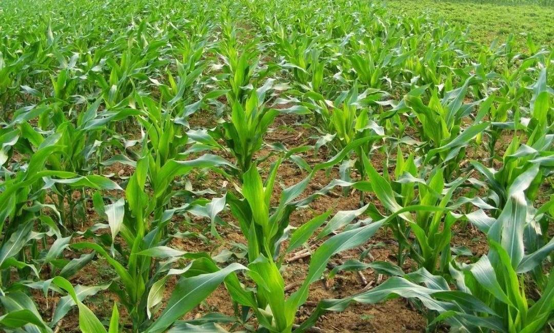 玉米种植密度对产量和品质的影响-www.bzwz.com伟业计量