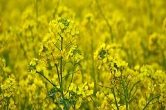 天水市《油菜品种 陇油14号》等4项甘肃省地方标准获批准发布