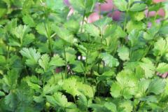 不同减菌剂对鲜切芫荽的减菌效果(一)