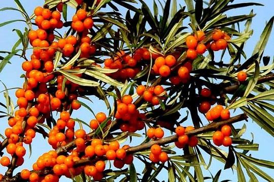 原创:小果实,大能量——伟业计量带你了解生长在砒砂岩的植物