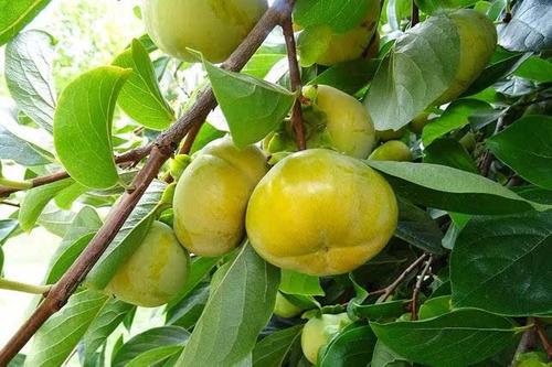 利用柿子酿制果酒的试验设计研究